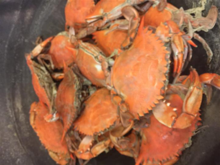 Dungeness Crabs