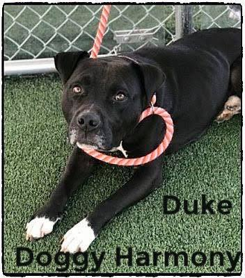 duke- doggy harmony