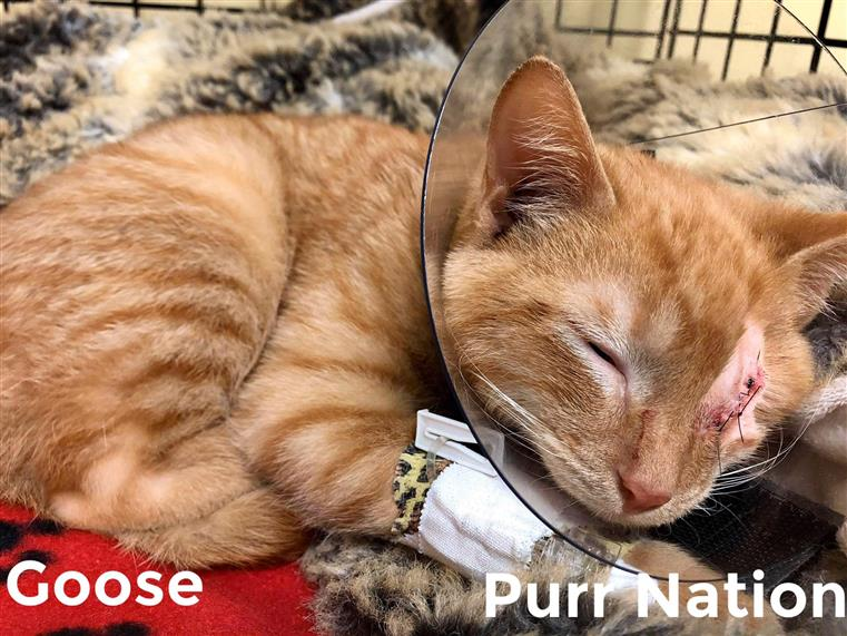 Goose - Purr Nation