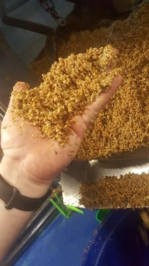 brewing process showcasing grains in hand