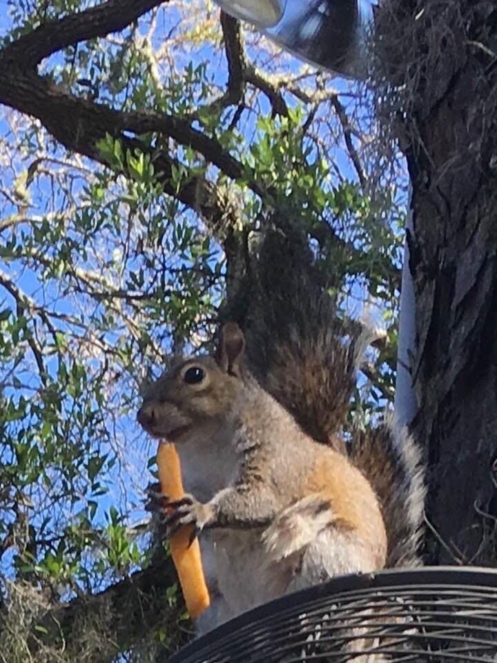 a squirrel in a tree eating a french fry