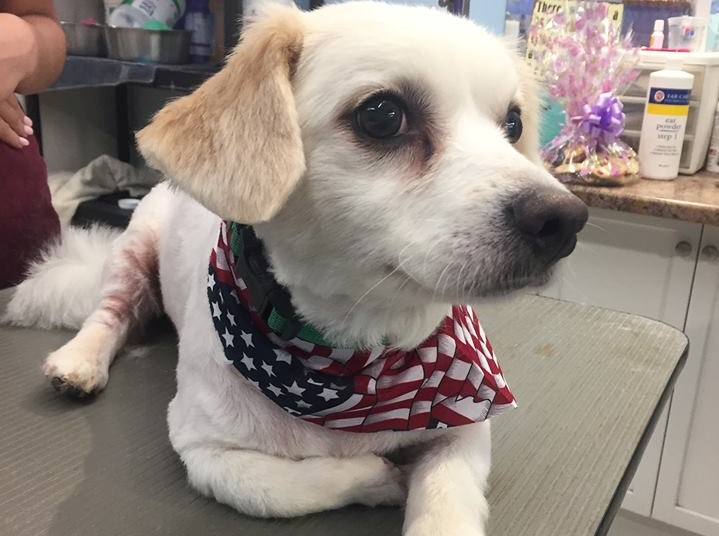puppy with american flag scarf on