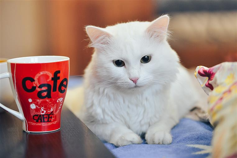 white fluffy cat on a coach with a mug that says cafe