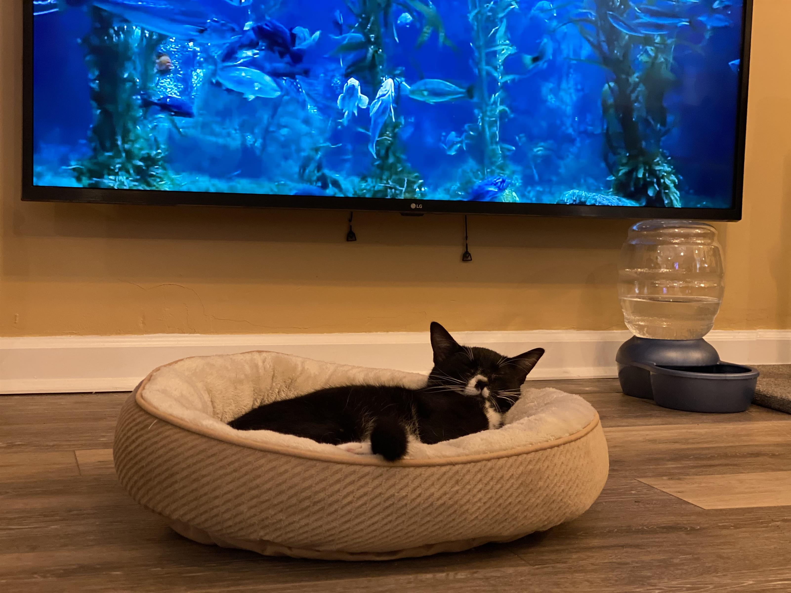 tuxedo cat sleeping in a cat bed in front of a tv