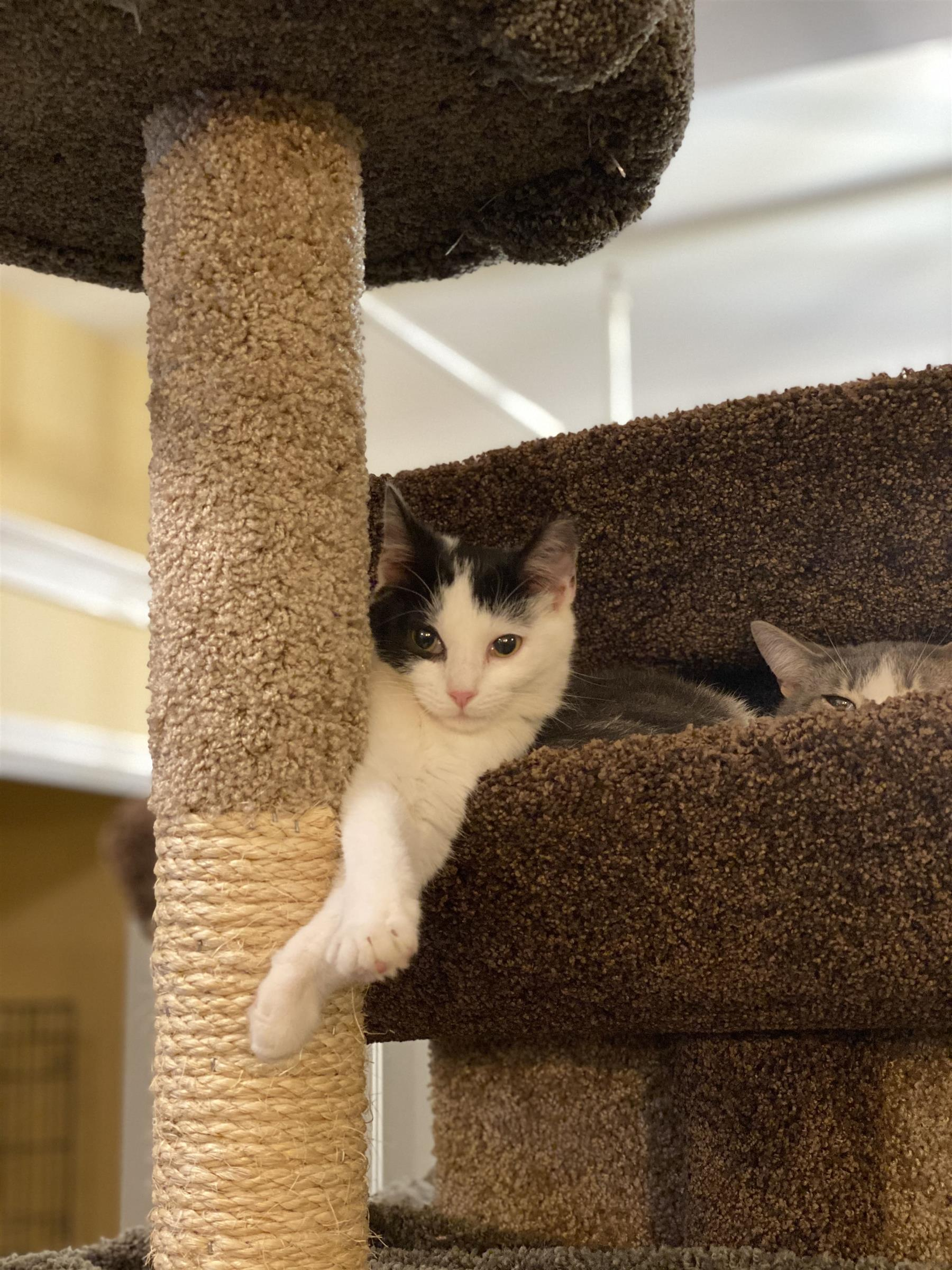 white and black kitten laying on a cat tree