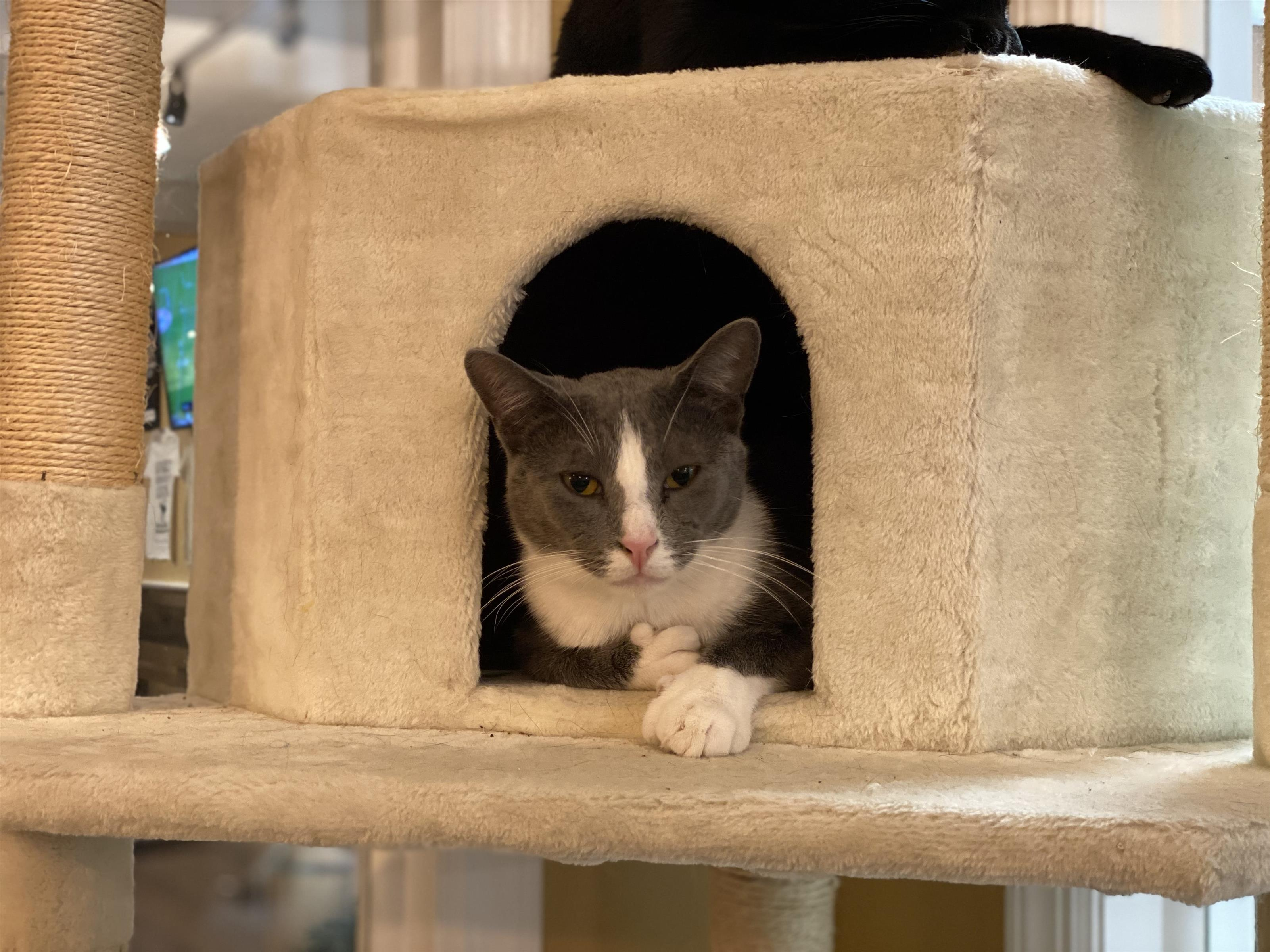 gray and white cat sitting in a cat tree.