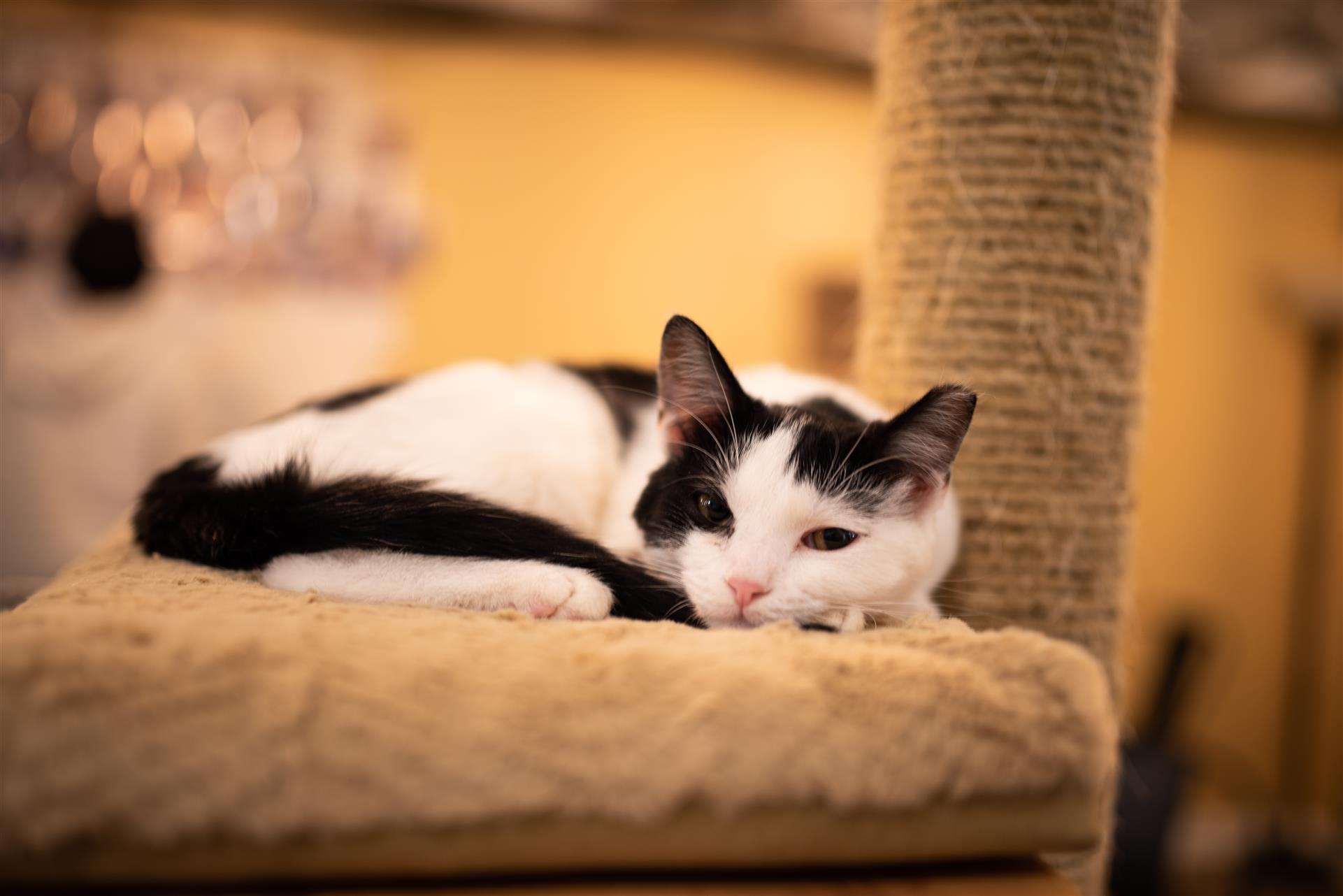 black and white kitten laying on a cat tree