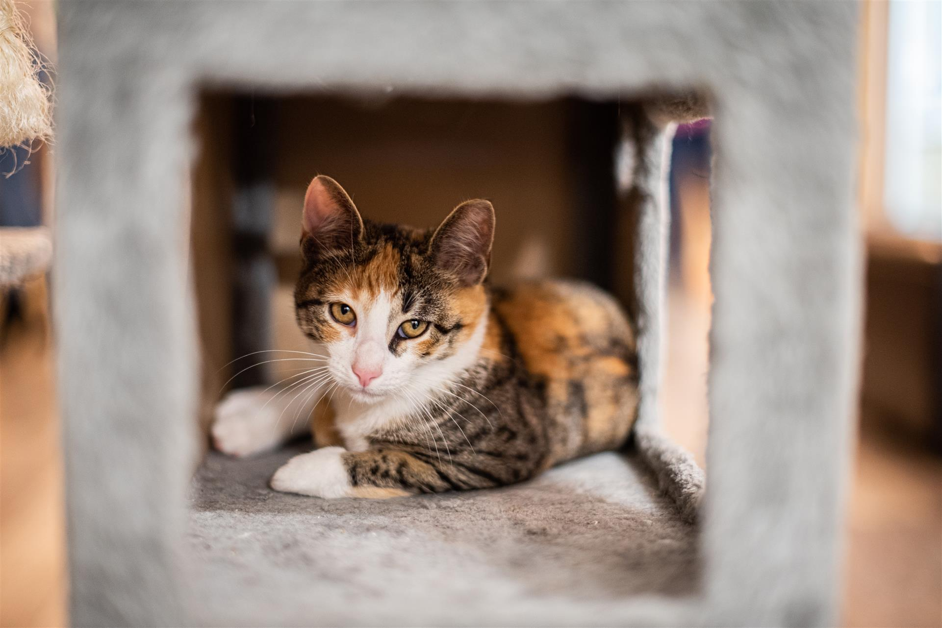 calico kitten laying in a cat tree.