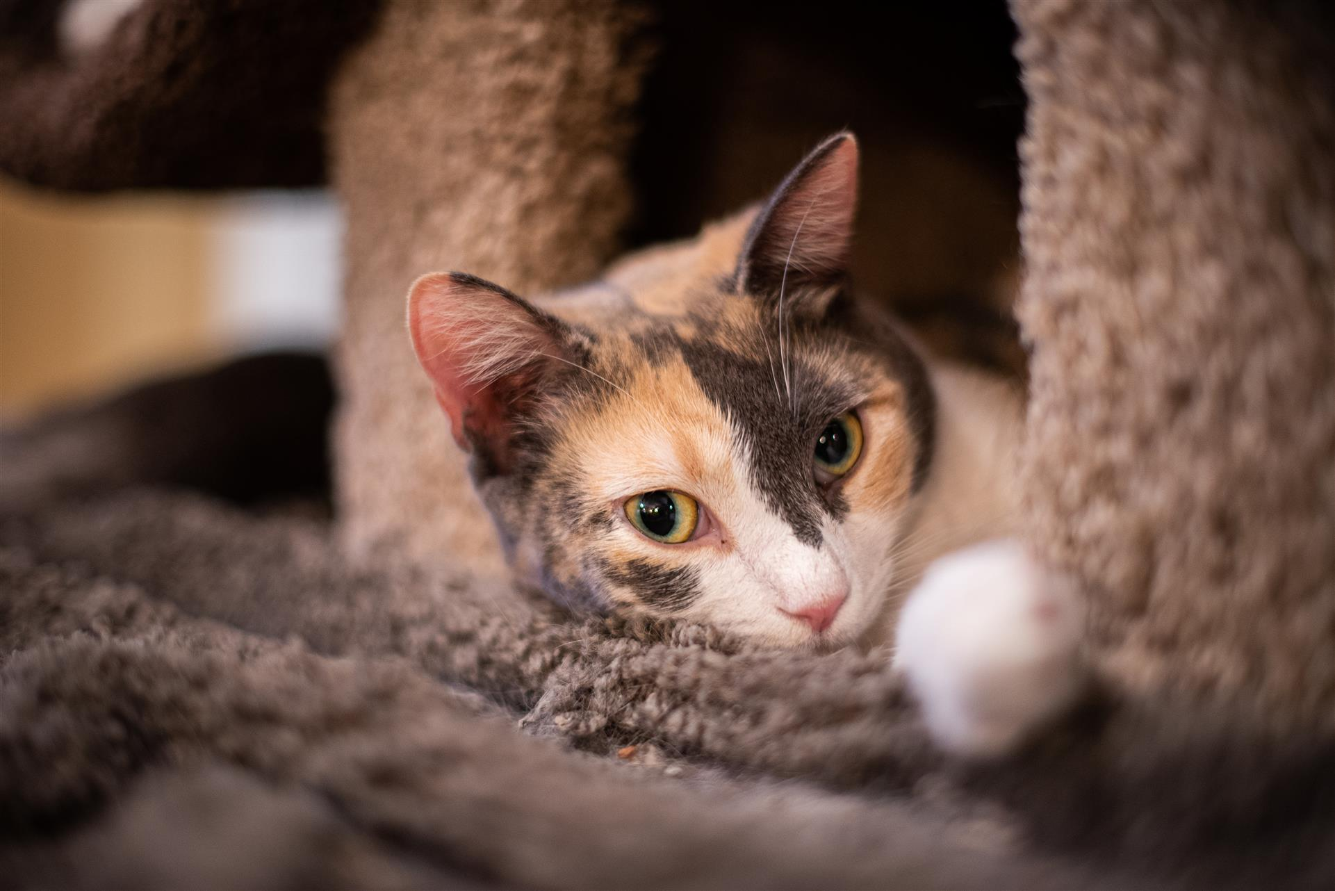 calico cat laying on a cat tree