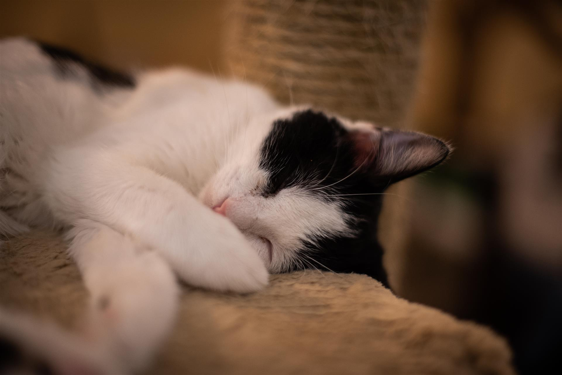 white and black cat sleeping