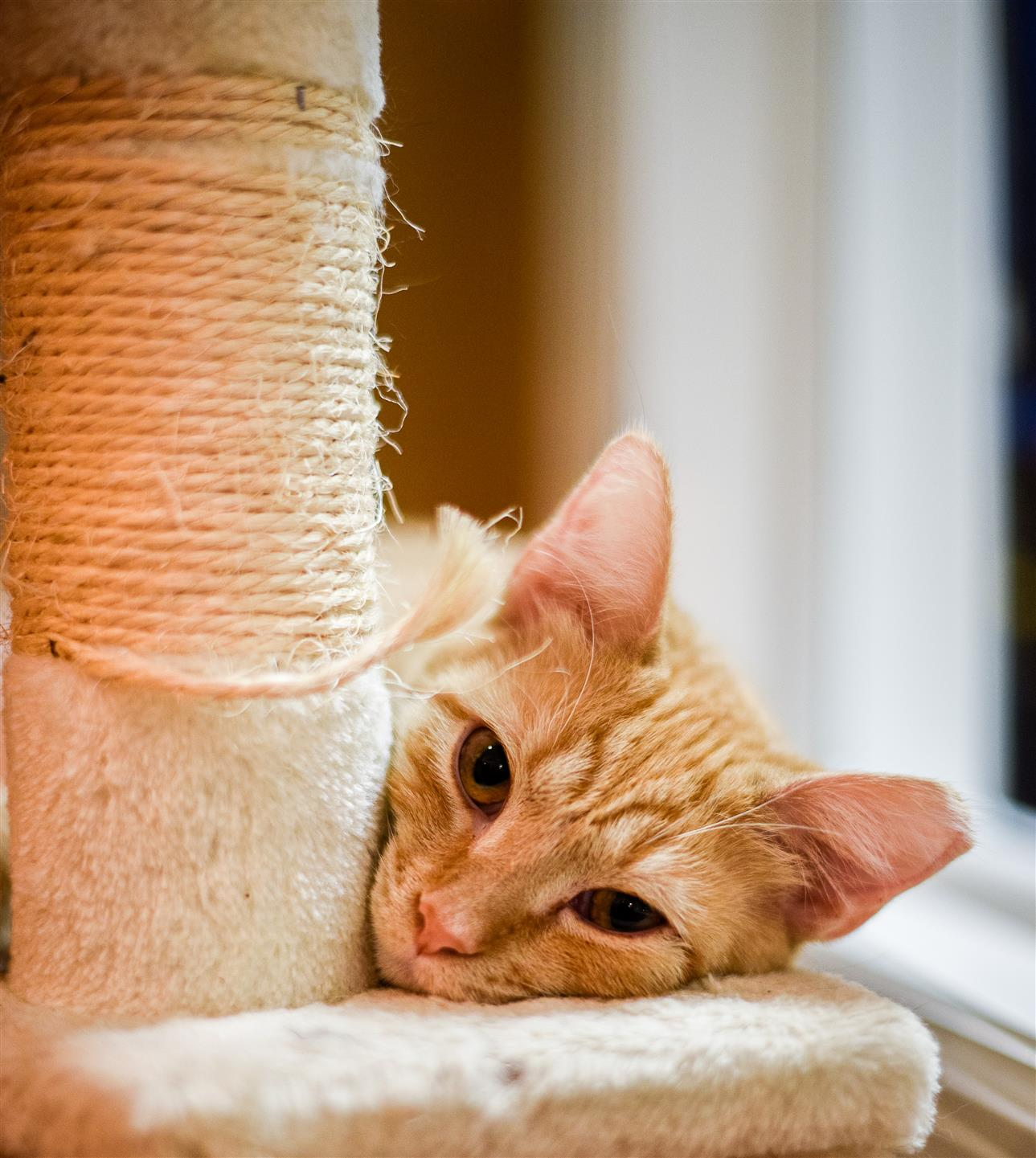 closeup of an orange cat's face laying on a cat tree