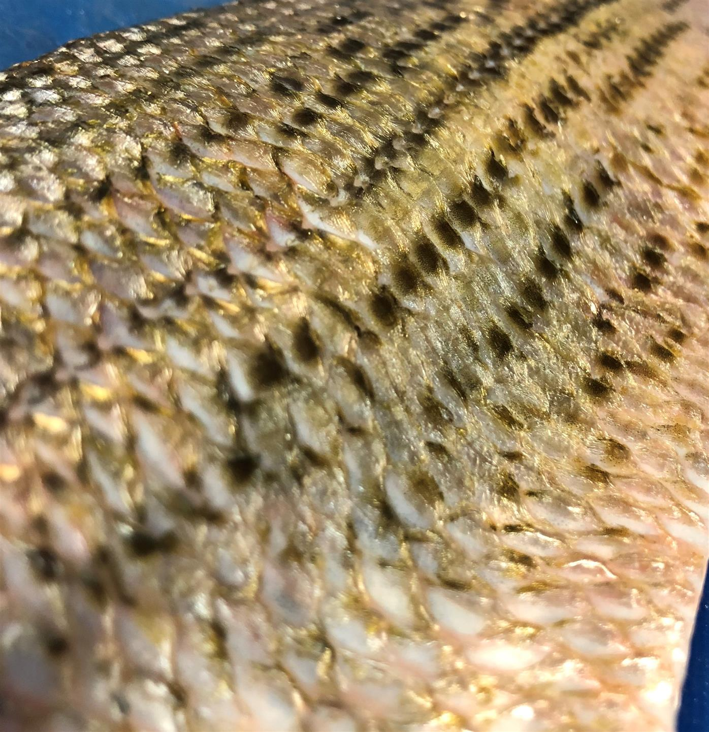 close of of fish scales on a fish