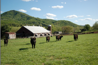 Cows in a grass field by a barn