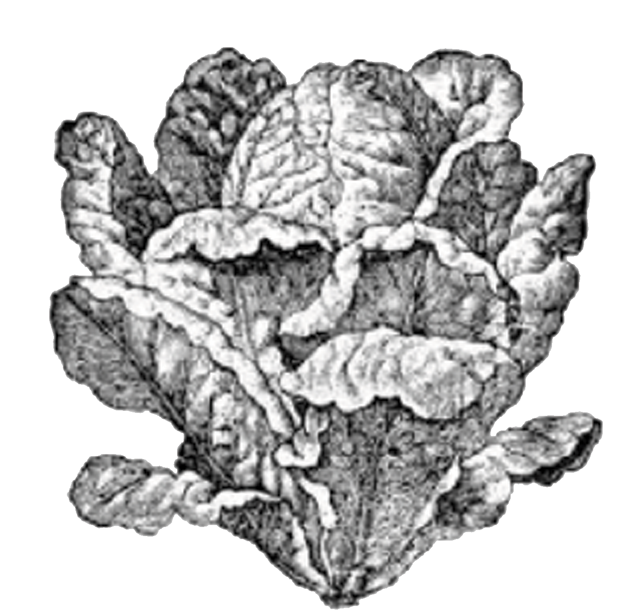 Illustration of a head of lettuce