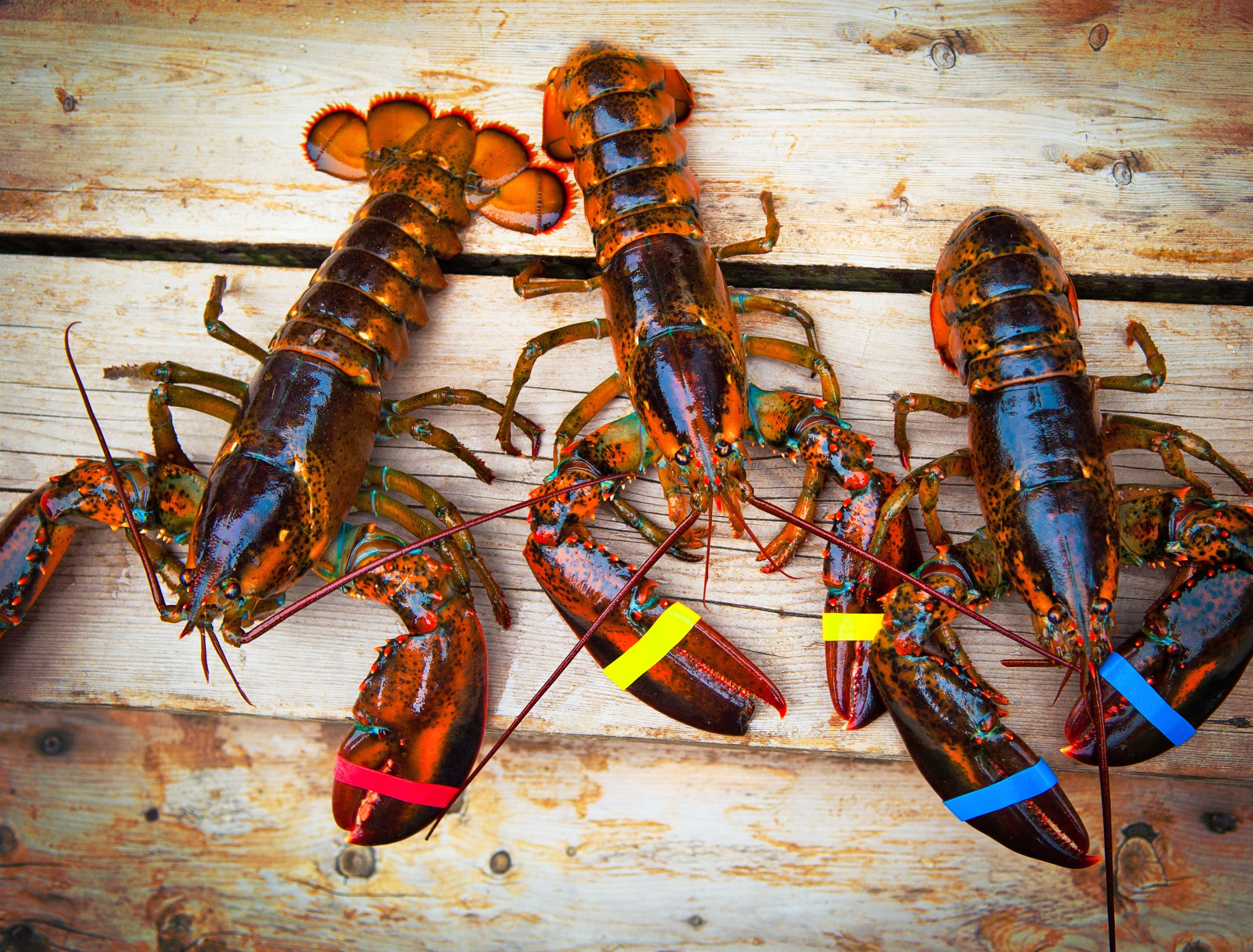 Three lobsters on wooden boards with rubber bands around claws