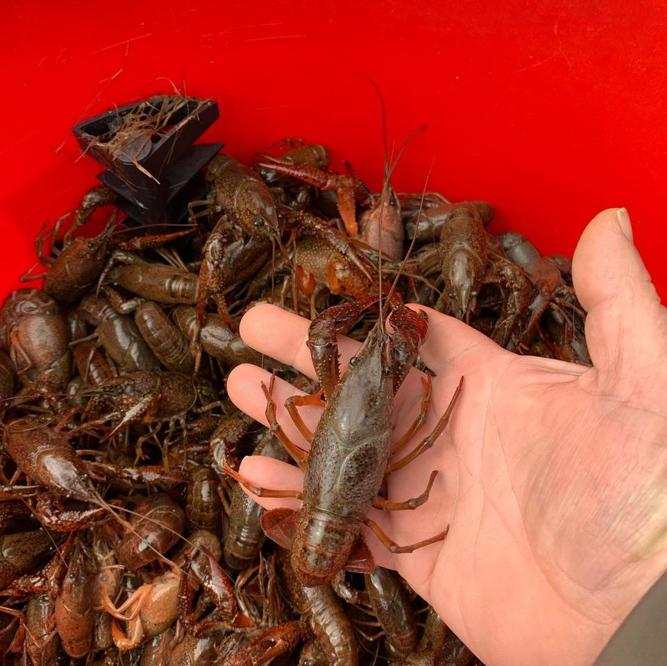 man holding a crawfish over a bucket of crawfish