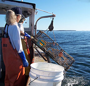fishermen pulling in lobster trap onto a boat