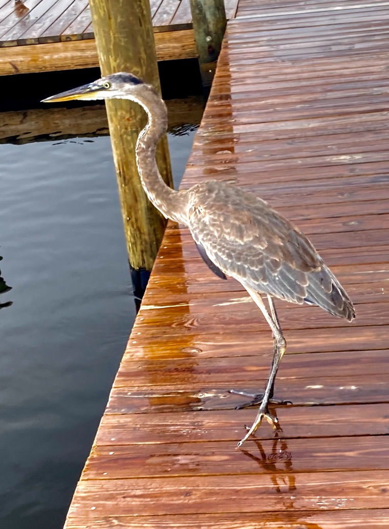 large bird standing on the boardwalk
