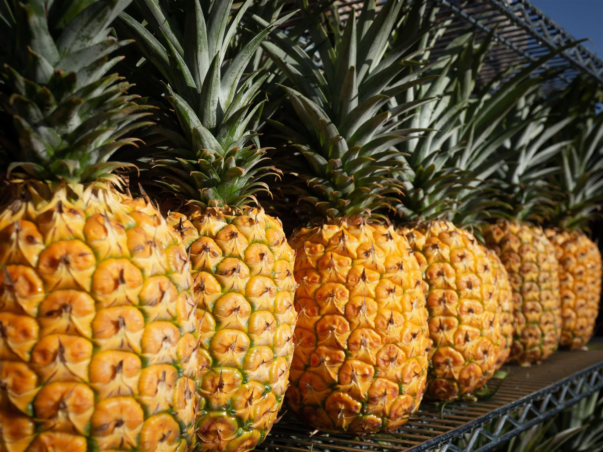 line of pineapples