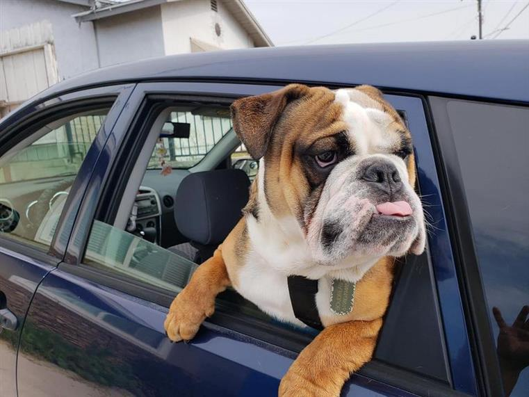 dog hanging out of a car window