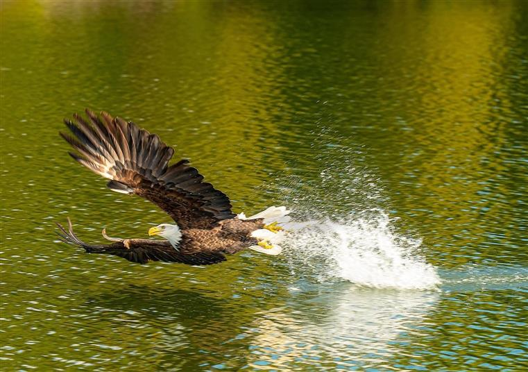 eagle flying across the river