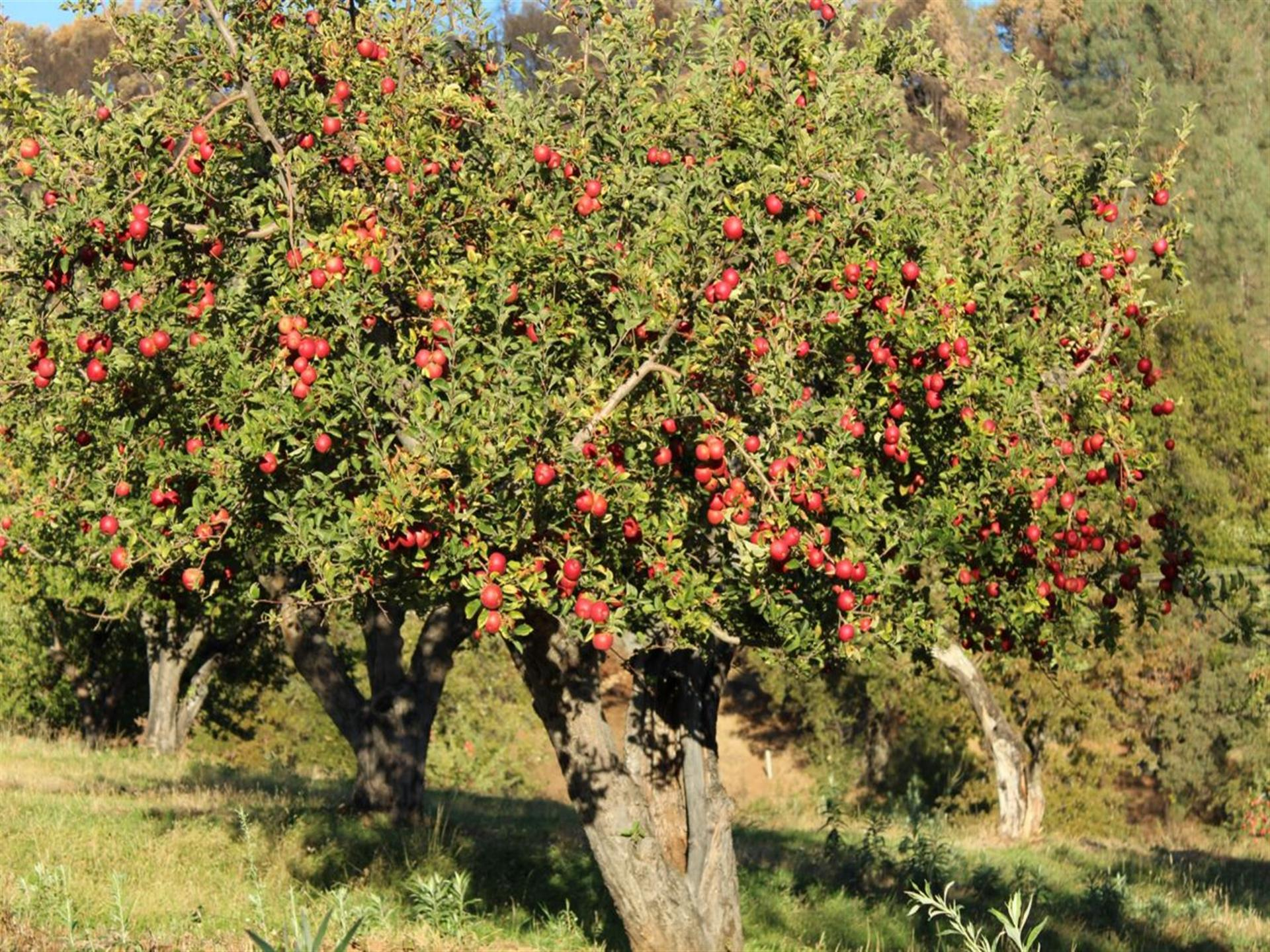 red apples hanging off an apple tree