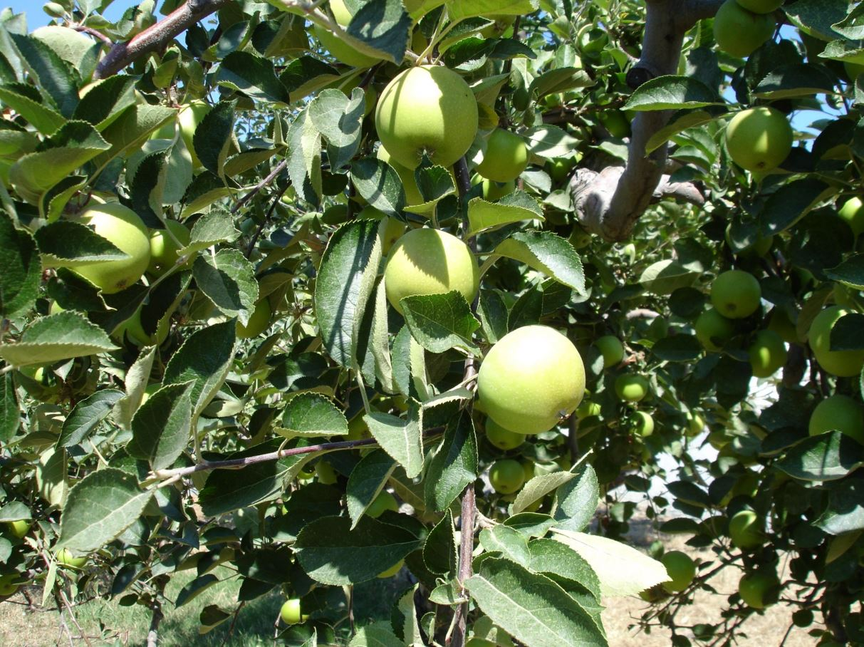 green apples hanging off an apple tree