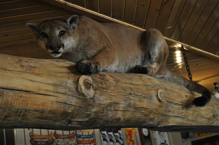 a taxidermy mountain lion perched on a wooden fixture