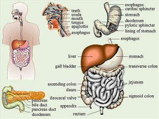 ---- Digestive Sys 5-pics (large)