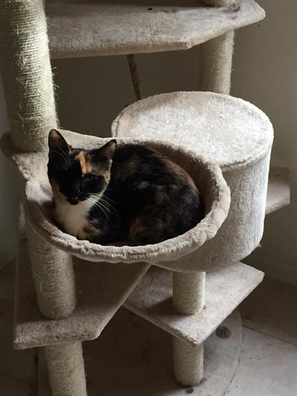 calico cat on cat tree