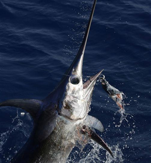 A swordfish being caught