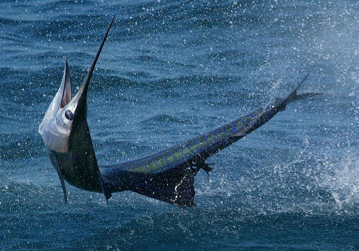 A big swordfish
