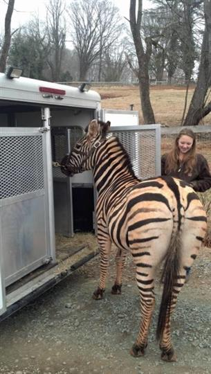 a zebra next to a vehicle