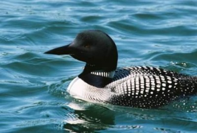 Common Loon in water