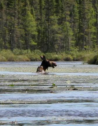 Moose wading through water