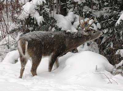 Deer in snow near tree