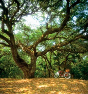Bicycle parked under sprawling oak tree in field