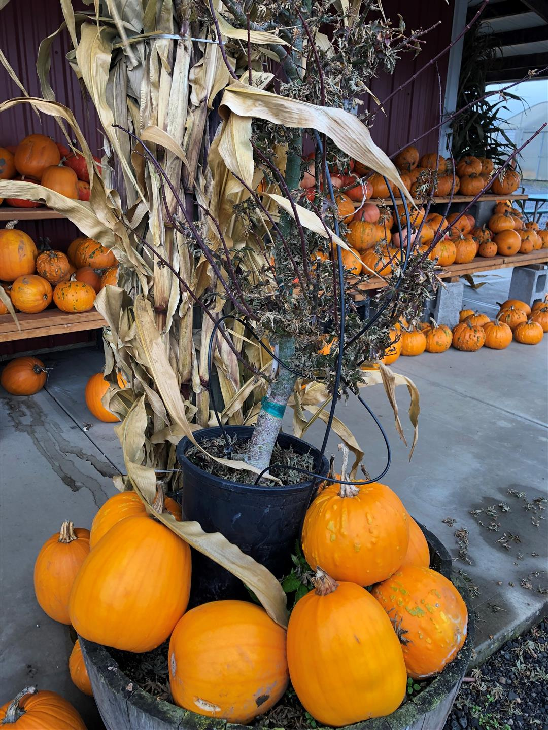 a plant with pumpkins around it and multiple pumpkins in the background