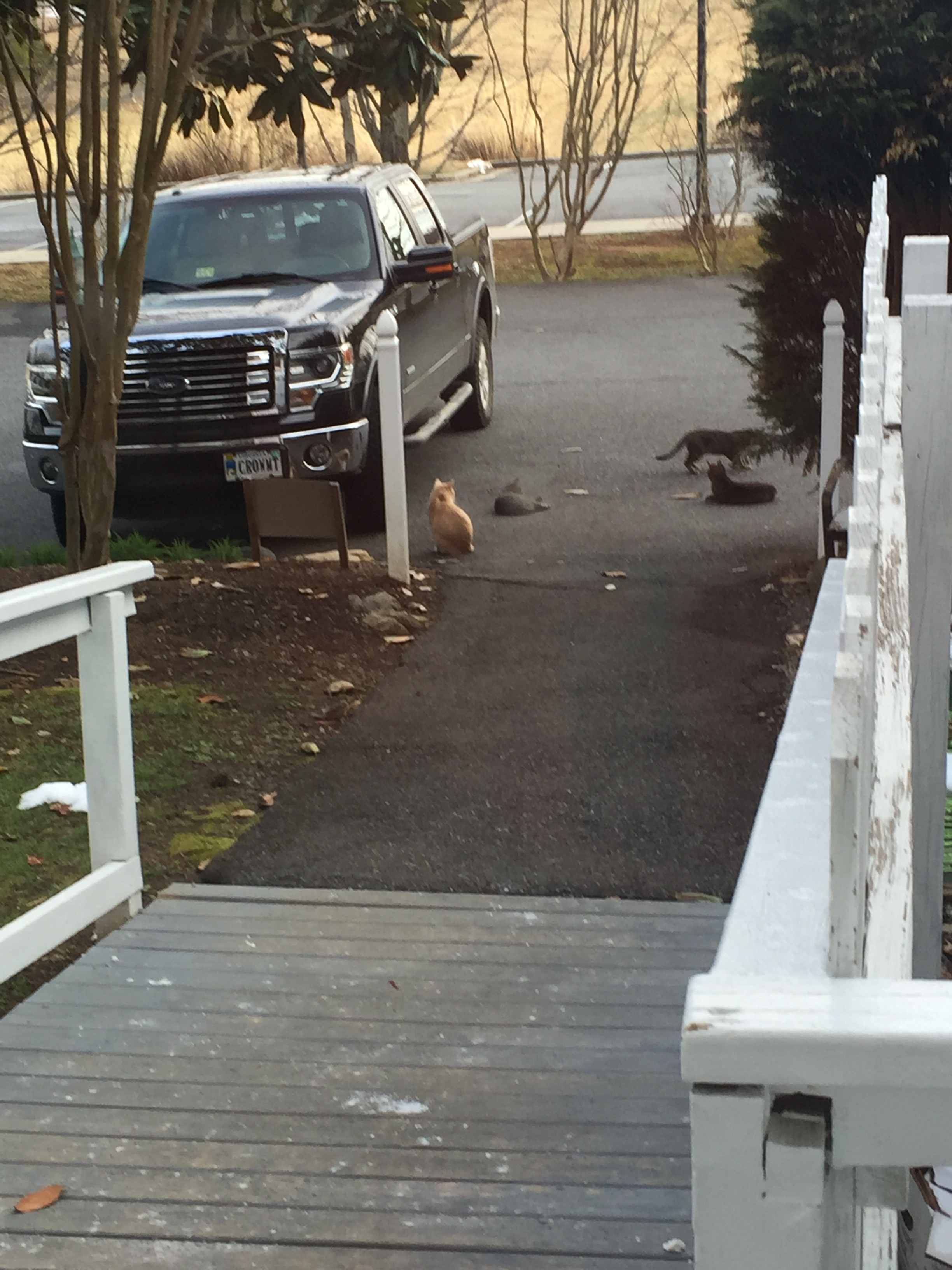 Cats near arriving pickup truck