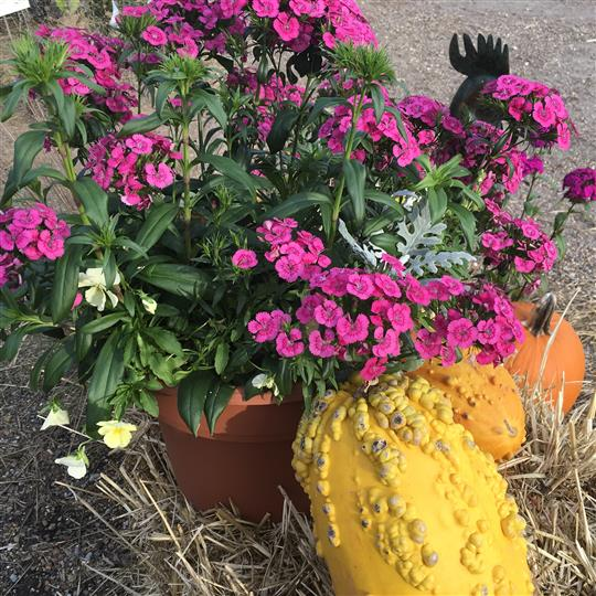 Flower pot with squash beside it on top of hay