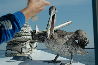 pelican on edge of boat