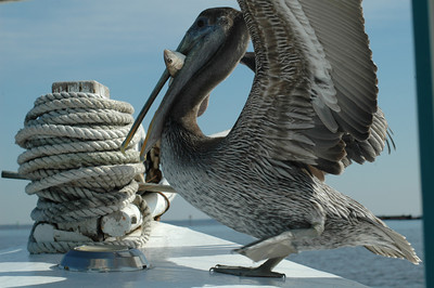pelican with bait in its mouth