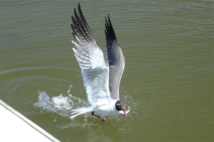 seagull diving for food