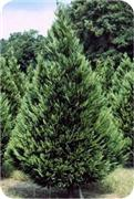 ---- Leyland Cypress Tree.jpg (large)