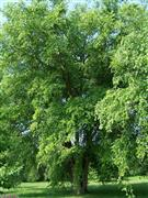 ---- River Birch Tree.jpg (large)