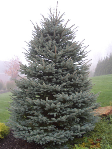 ---- Blue Spruce Tree.jpg (large)