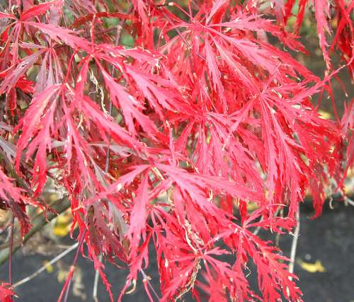 ---- Japanese Cutleaf Maple.jpg (large)
