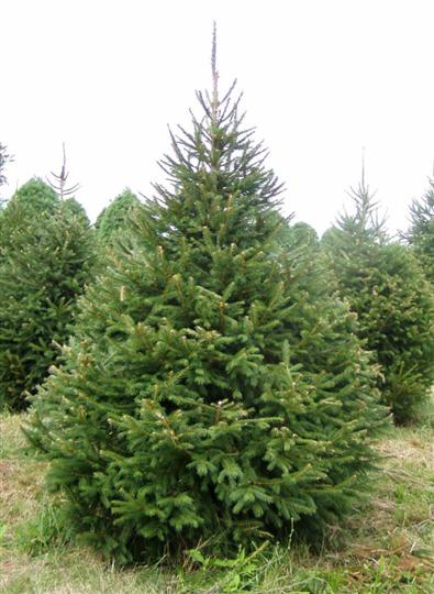 ---- Norway Spruce.jpg (large)