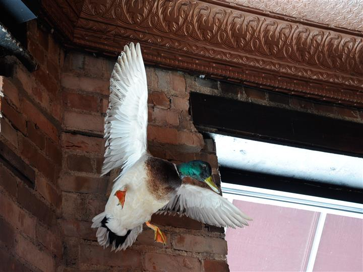 A mallard on a brick wall, interior shot