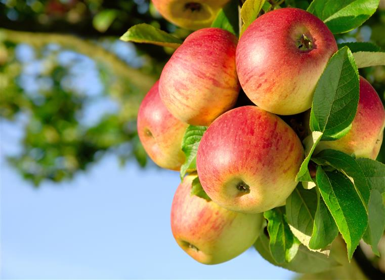 apples hanging from a tree branch surrounded by leaves